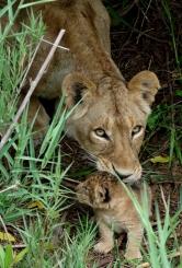 lioness tiny lion cub