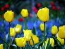 P1090913 yellow tulip
