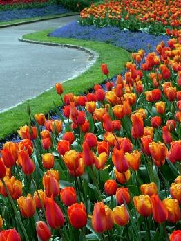 P1090952 tulips S